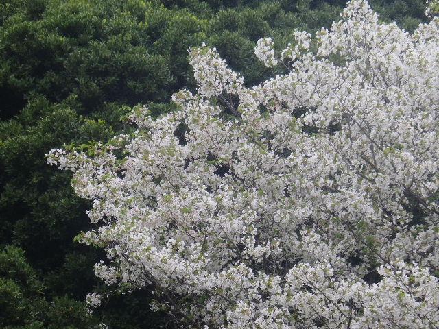 10-2)   17.04.17 近所の山桜などをテキトーに撮った