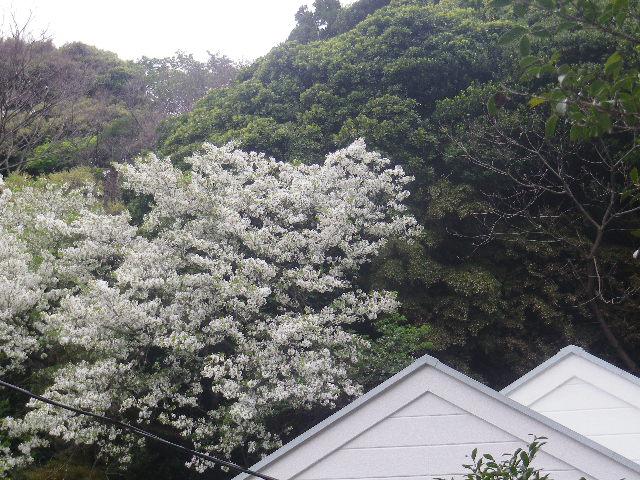 11-1)   17.04.17 近所の山桜などをテキトーに撮った