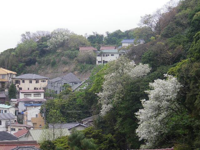 13-1a)  振り返って撮った  17.04.17 近所の山桜などをテキトーに撮った