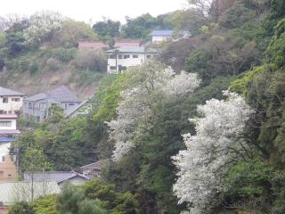 13-1b)   17.04.17 近所の山桜などをテキトーに撮った