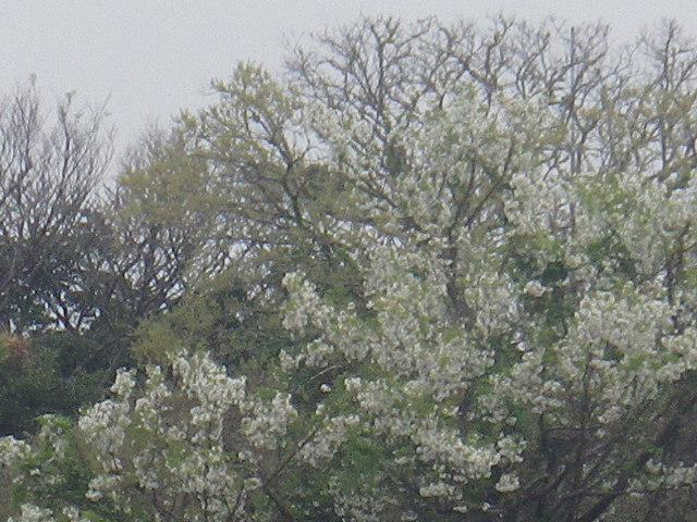 14-2)   17.04.17 近所の山桜などをテキトーに撮った