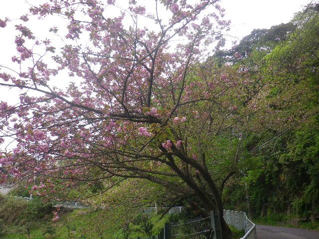 31-1)   写真30)桃色の桜を撮った 17.04.17 近所の山桜などをテキトーに撮った
