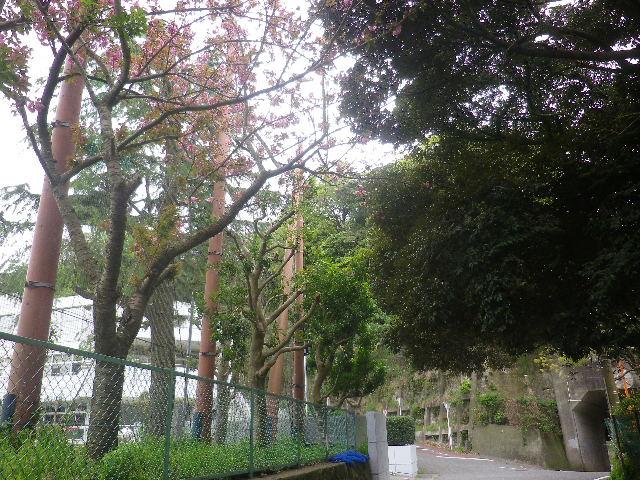 32-1)  鎌倉市立第一中学校正門前を十数m過ぎて振り返る   17.04.17 近所の山桜などをテキトーに撮った