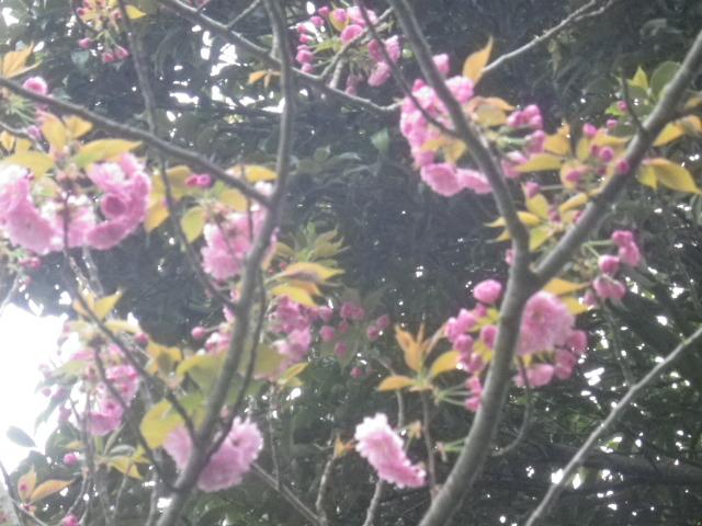 32-2)   桜をズームアップしたつもり 17.04.17 近所の山桜などをテキトーに撮った