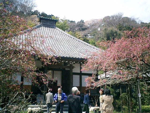 05) 鎌倉長谷「光則寺」。 本堂と海棠で右は樹齢200年の天然記念物