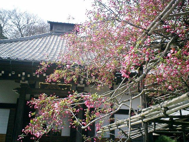 07) 鎌倉長谷「光則寺」。 海棠、樹齢200年の天然記念物