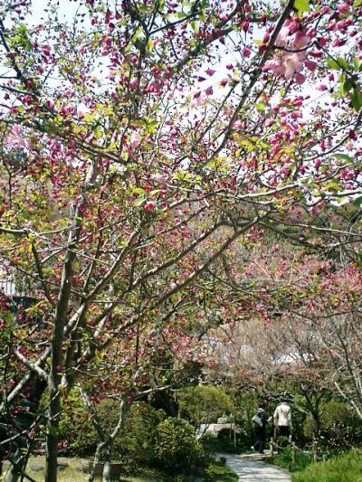 12) 鎌倉長谷「光則寺」。 境内の海棠