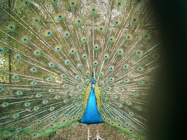 20) 鎌倉長谷「光則寺」。境内のクジャク。細かい金網越に撮った。15分くらい羽を広げていた。