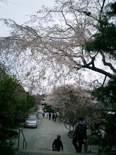 25) 鎌倉長谷「光則寺」。 山門を出たところの桜。
