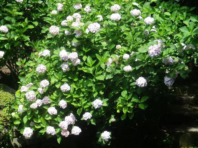 B02)   大殿左側   17.06.23 鎌倉「光明寺」記主庭園の蓮が咲き始めた