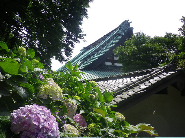 C07) 大殿裏の古道周辺の紫陽花     17.06.23 鎌倉「光明寺」記主庭園の蓮が咲き始めた