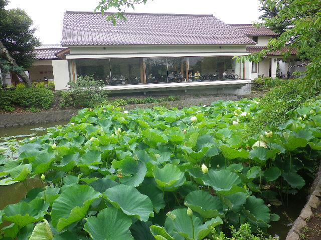 09-1) ' 源平池 ' の平家池側   17.06.29 鎌倉「鶴岡八幡宮」蓮が咲き始めたヨ