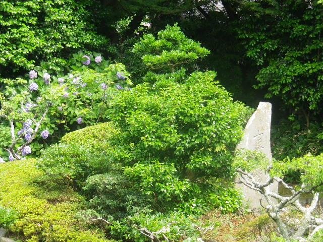 06-2) 17.07.03 鎌倉「光明寺」紫陽花に、蓮の開花が追いついて競艶。