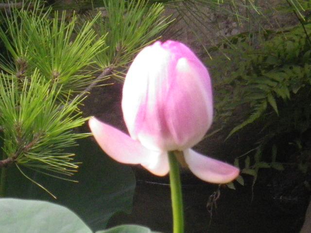 1-03)   古代蓮が一輪だけ咲いていた。  17.08.08 鎌倉「光明寺」古代蓮が一輪だけ咲いた