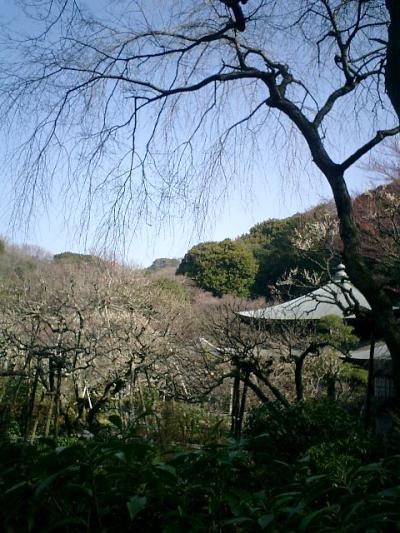 D07    07.02.21 鎌倉「瑞泉寺」梅の季節