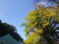 02-2)    17.11.14 鎌倉「長勝寺」銀杏が黄色くなったよぉ~ 紅葉は まだだヨ