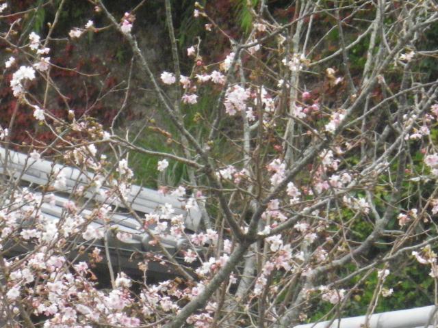 04-1) 冬桜    17.11.30 鎌倉「松嶺院」冬桜が咲く頃 _  「円覚寺」塔頭