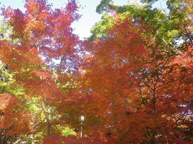 A02)    「白旗神社」参道 ( = 鎌倉国宝館前)   17.12.06 鎌倉「鶴岡八幡宮」銀杏が散って赤い葉が映える頃