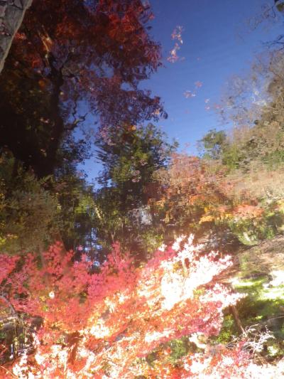 B06)    柳原神池の周辺   17.12.06 鎌倉「鶴岡八幡宮」銀杏が散って赤い葉が映える頃