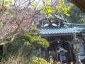 02-1)    18.01.29 ' ぼたもち寺 ' 鎌倉「常栄寺」梅が咲いたヨ