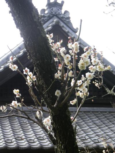 04-2) 18.02.23 鎌倉「浄光明寺」梅が咲く頃