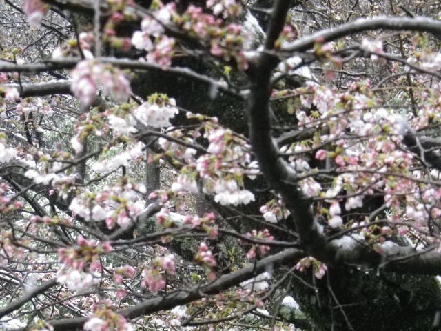 05-2)    18.03.21 雪が降る春彼岸中日の鎌倉「光明寺」開花開始直前!桜の蕾