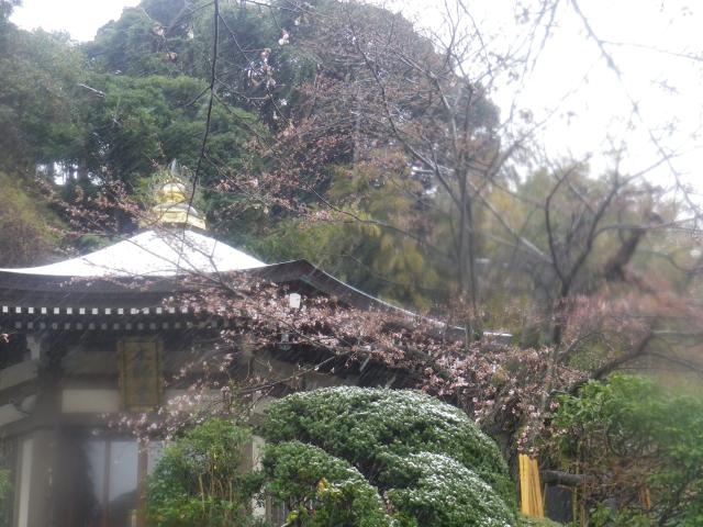 05)    18.03.21 鎌倉「長勝寺」桜の開花寸前に雪が降った春彼岸の中日