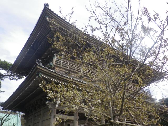 01-1)    18.03.24 鎌倉「光明寺」の桜が開花
