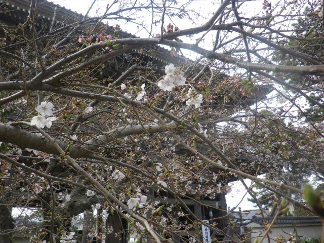 04-2)    18.03.24 鎌倉「光明寺」の桜が開花