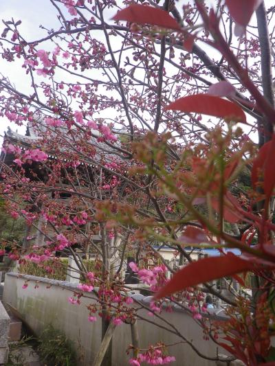 09-1)    18.03.24 鎌倉「光明寺」の桜が開花