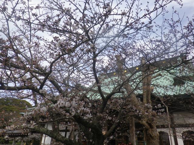 11-1)   18.03.24 鎌倉「光明寺」の桜が開花