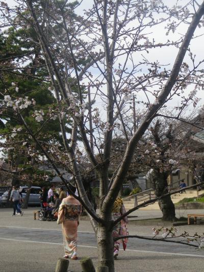 14)   18.03.24 鎌倉「光明寺」の桜が開花