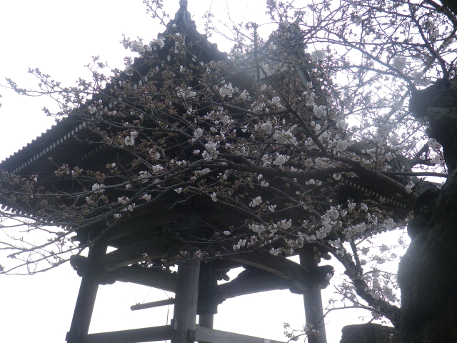 15)   18.03.24 鎌倉「光明寺」の桜が開花