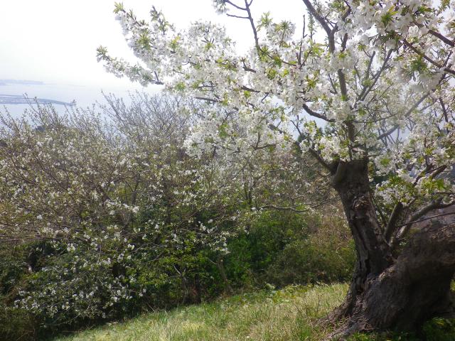 10)   18.03.27 逗子「披露山公園」の桜