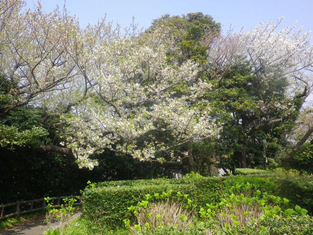 01)    18.03.27 逗子「大崎公園」の桜」」