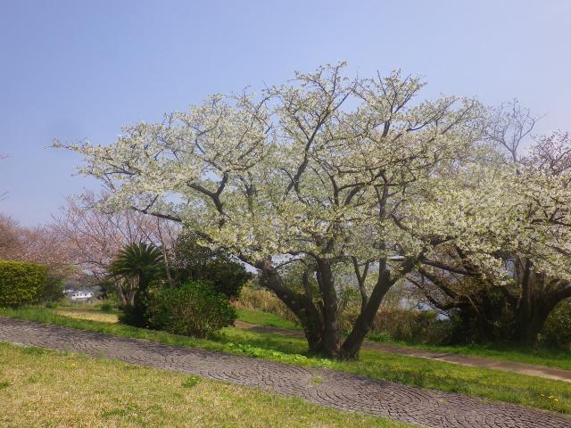 06)    18.03.27 逗子「大崎公園」の桜」」