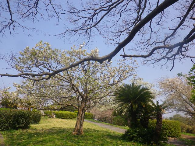 08)    18.03.27 逗子「大崎公園」の桜」」