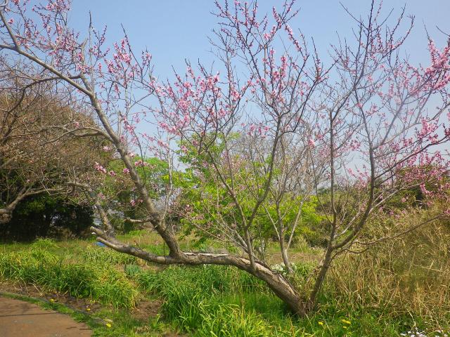 10)    18.03.27 逗子「大崎公園」の桜」」