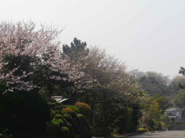 05)    18.03.27 逗子「披露山庭園住宅」の桜