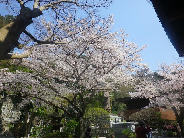 06)   18.03.28 鎌倉「妙本寺」の桜
