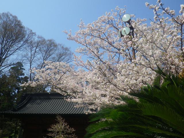 08)   18.03.28 鎌倉「妙本寺」の桜