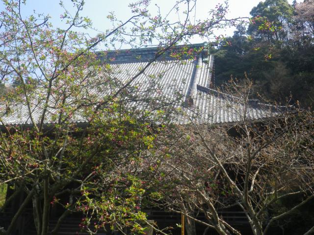10-1) 海棠    18.03.28 鎌倉「妙本寺」の桜