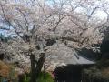 07)   18.03.28 鎌倉「妙本寺」の桜