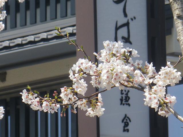 03-2)   18.03.28 鎌倉「鶴岡八幡宮」満開の桜