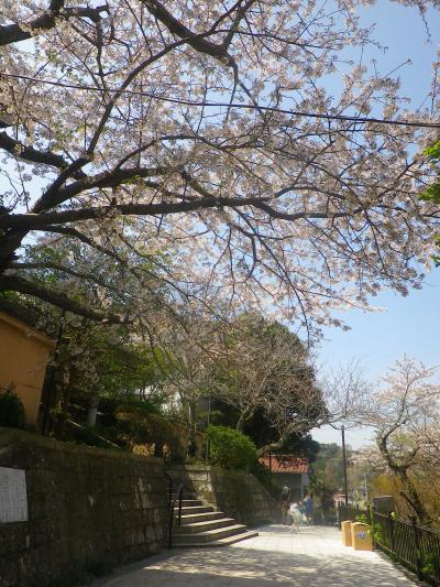 04-1)  山門前の桜を、「極楽寺」方向に見る。  18.03.30 鎌倉「成就院」桜が咲く頃