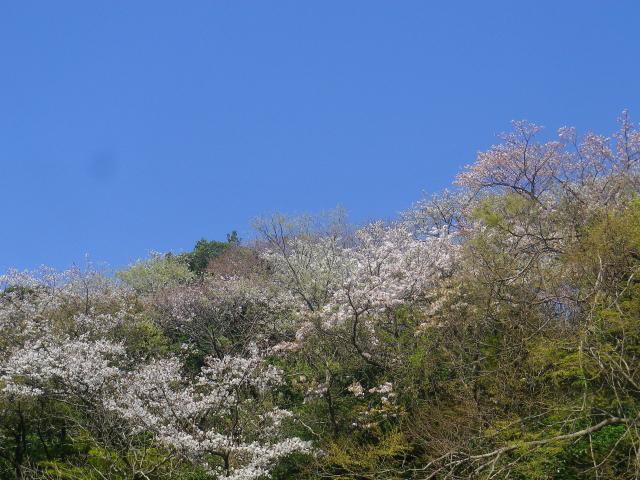03-1)  三組一式の右   18.03.30 天照山裏側谷戸の山桜