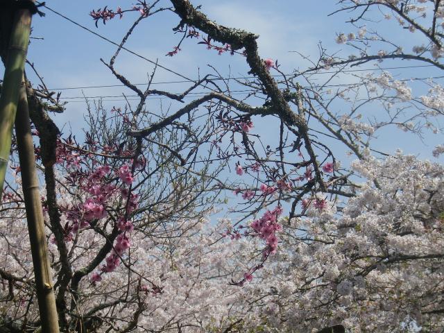 03-3)   18.03.30 鎌倉「光則寺」参道の桜と境内の天然記念物 花海棠が咲いたヨ