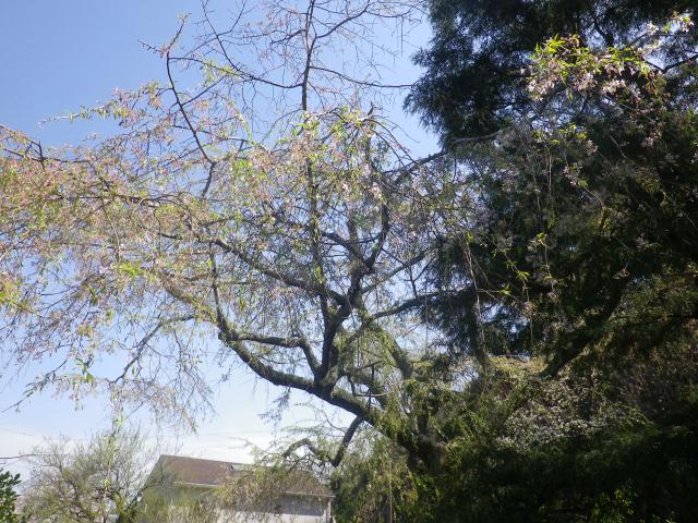 05--2)   18.03.30 鎌倉「光則寺」参道の桜と境内の天然記念物 花海棠が咲いたヨ
