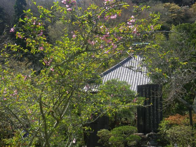 06-1)   18.03.30 鎌倉「光則寺」参道の桜と境内の天然記念物 花海棠が咲いたヨ