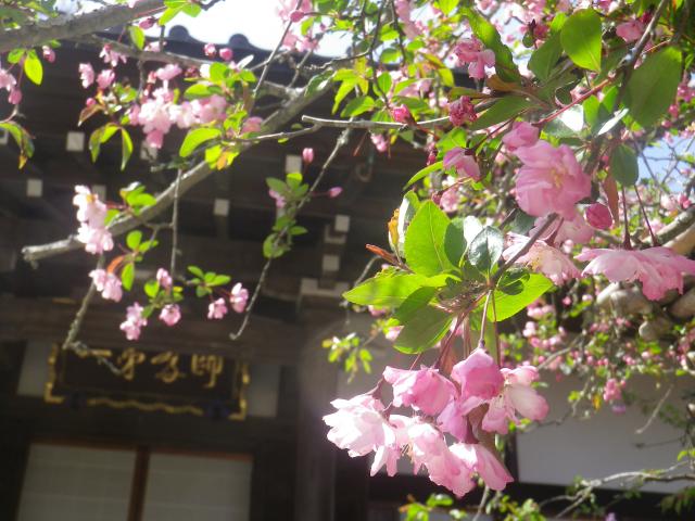 07-4)   18.03.30 鎌倉「光則寺」参道の桜と境内の天然記念物 花海棠が咲いたヨ